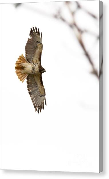 Hawk In Flight Canvas Print by Jill Bell