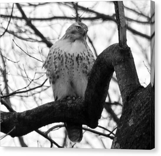 Hawk In Tree Canvas Print by Valerie Wolf