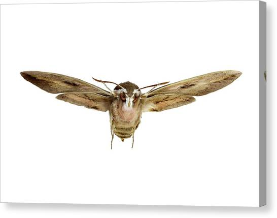 Pollinator Canvas Print - Hawk Moth In Flight by F. Martinez Clavel