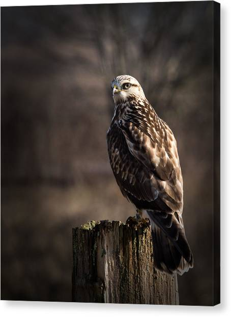 Hawk On A Post Canvas Print