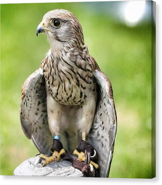 Falcons Canvas Print - Hawk by Phil Tomlinson