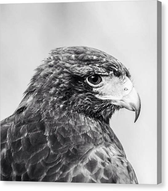 Hawks Canvas Print - Hawk by Roberto Rubio