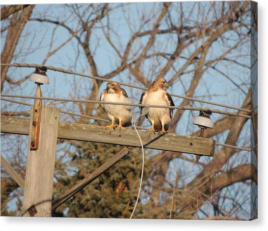 Two Hawks On A Telephone Pole Red Tail Canvas Print - Hawk Talk by Todd Sherlock