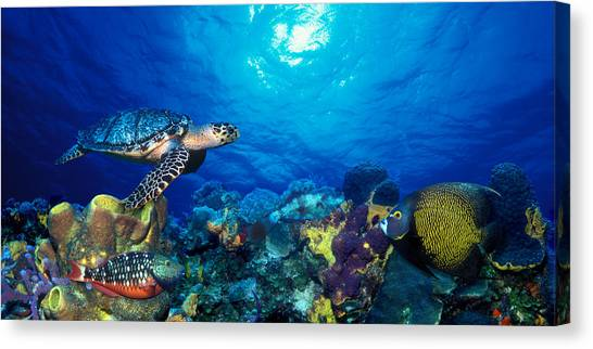 Stoplights Canvas Print - Hawksbill Turtle Eretmochelys Imbricata by Panoramic Images