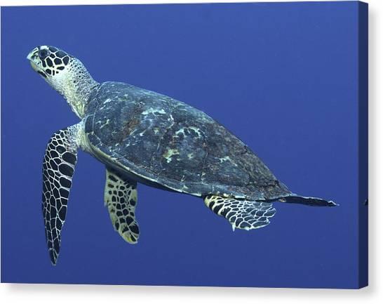 Hawksbill Turtle Canvas Print by Paula Marie deBaleau