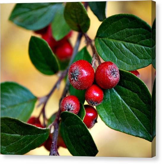 Hawthorn Berries Canvas Print