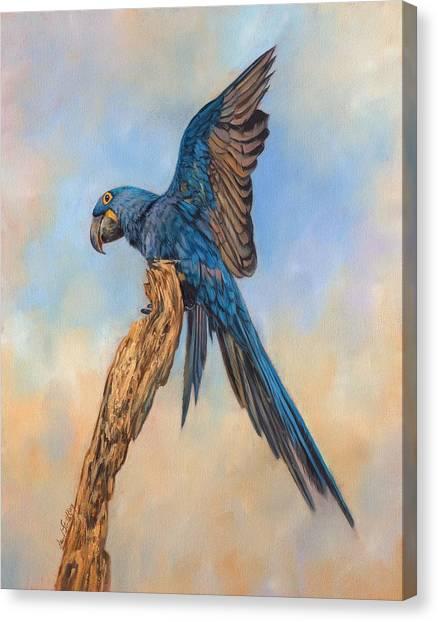 Macaws Canvas Print - Hayacinth Macaw by David Stribbling