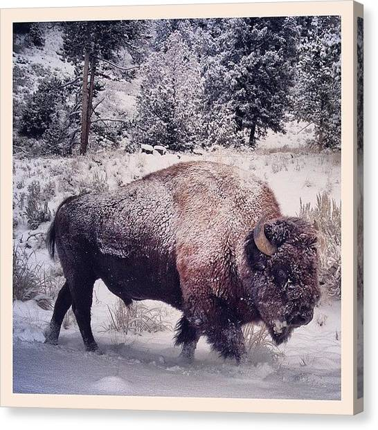 Wyoming Canvas Print - He Is Just Going For A Morning Stroll by Valerie Olivas