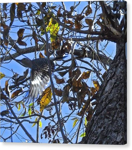 Woodpeckers Canvas Print - He Looks So Happy Flying Through The by Allison  Zapata
