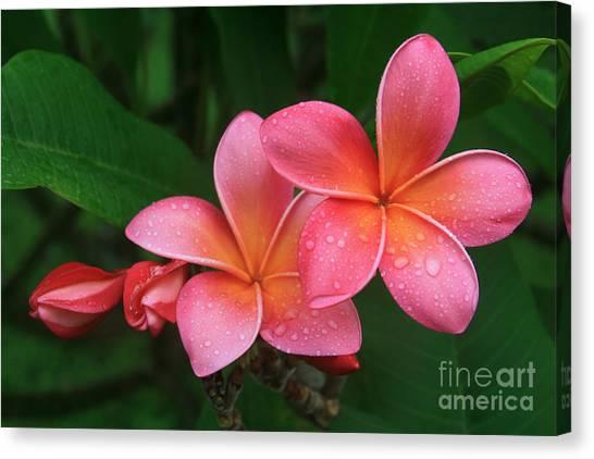 He Pua Laha Ole Hau Oli Hau Oli Oli Pua Melia Hae Maui Hawaii Tropical Plumeria Canvas Print