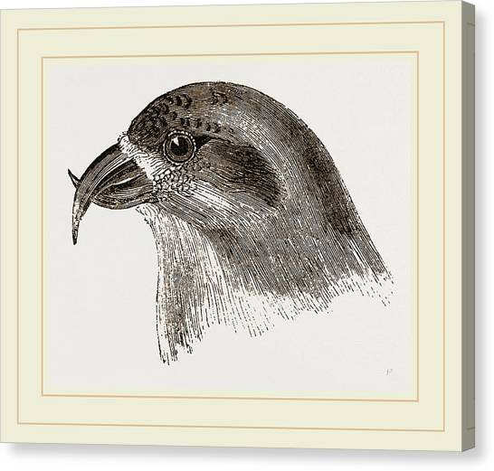 Crossbills Canvas Print - Head Of Crossbill by Litz Collection