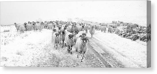Sheep Canvas Print - Heading For Home by Janet Burdon