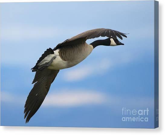 Canada Goose Canvas Print - Heading North by Mike Dawson