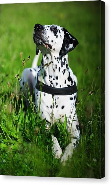 Dalmations Canvas Print - Heads Up. Kokkie. Dalmation Dog by Jenny Rainbow