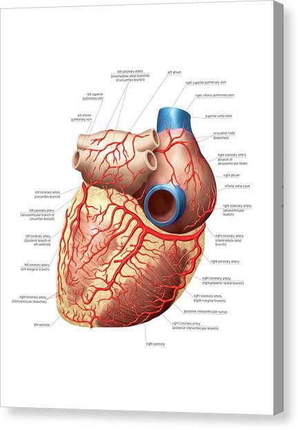 Right Coronary Artery Canvas Prints Fine Art America