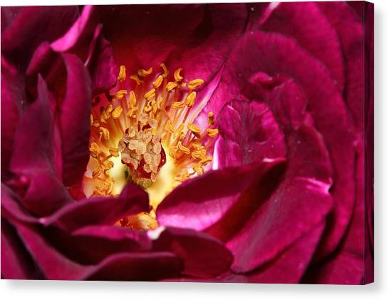 Heart O' The Rose Canvas Print by Mike Farslow