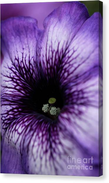 Heart Of The Purple Petunia Canvas Print