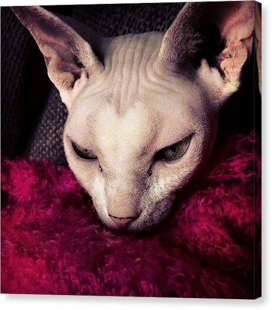 Sphynx Cats Canvas Print - Heart Shaped Fuzz.  With Winter Sphynx by Samantha Charity Hall