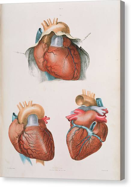 Heart Canvas Print by Sheila Terry/science Photo Library