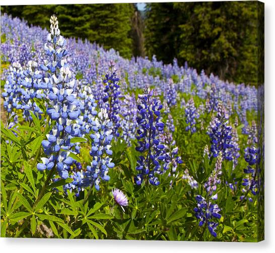 Chairlift Canvas Print - Heavenly Blue Lupins by Theresa Tahara