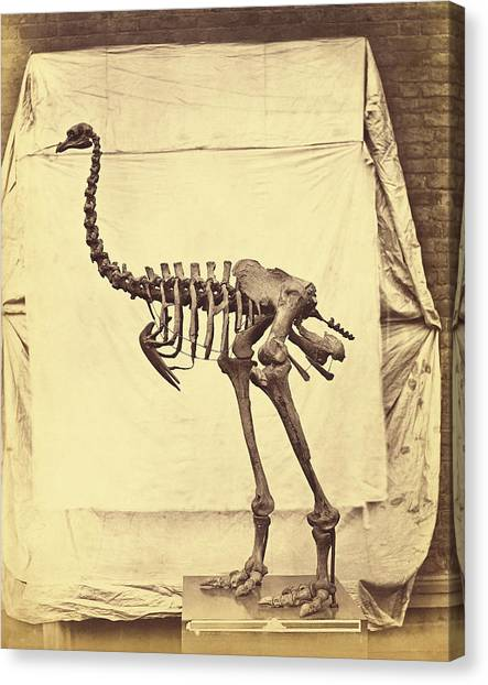 The British Museum Canvas Print - Heavy-footed Moa Fossil Skeleton by The Getty/science Photo Library