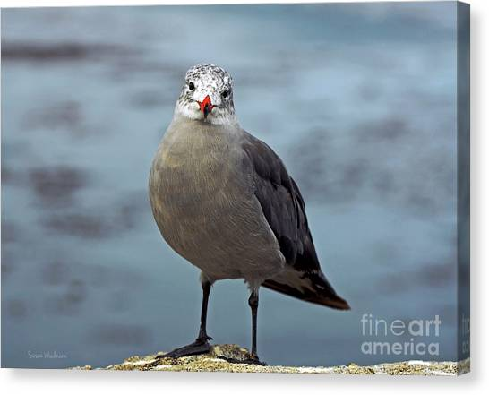 Heermann's Gull Looking At Camera Canvas Print