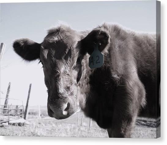 Heifer Canvas Print