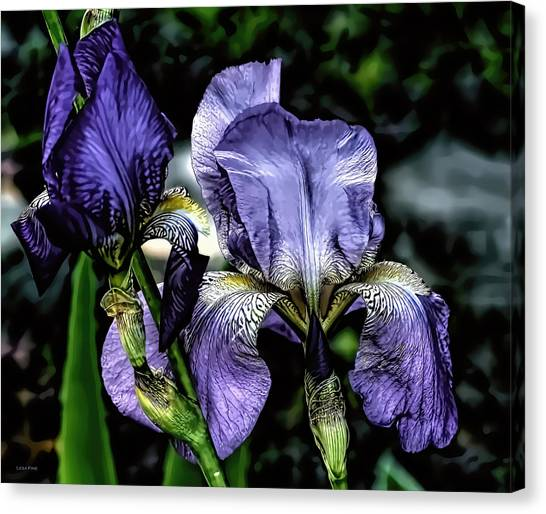 Heirloom Purple Iris Blooms Canvas Print