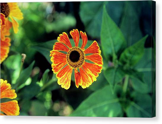 Perennial Canvas Print - Helenium Flower by A C Seinet/science Photo Library