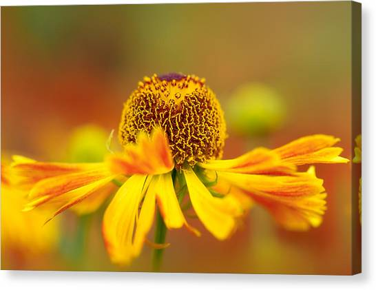 Helenium Sunshine Canvas Print