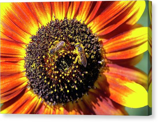 Helianthus Annuus 'solar Eclipse' Canvas Print by Brian Gadsby/science Photo Library