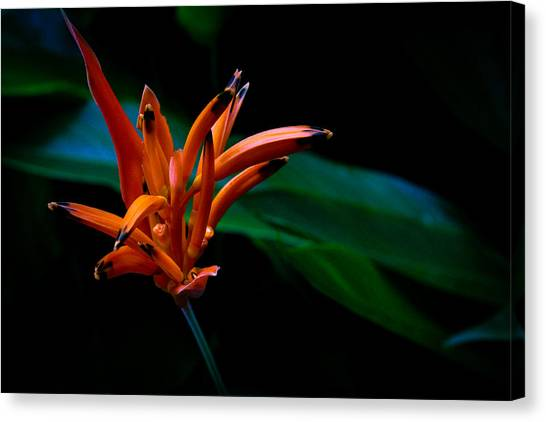 Heliconia Psittacorum Andromeda Canvas Print by Donald Chen