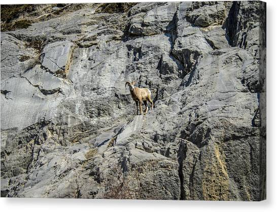 Big Horn Sheep Coming Down The Mountain  Canvas Print