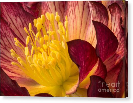Hellebore Ruby Yellow Glow Canvas Print