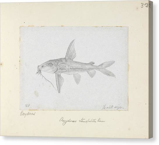 Catfish Canvas Print - Hemidoras Stenopeltis by Natural History Museum, London