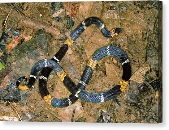 Coral Snakes Canvas Print - Hemprich's Coral Snake by Dr Morley Read/science Photo Library