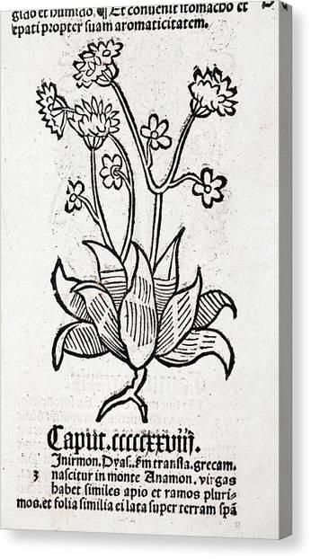 Herbal Plant Canvas Print by Paul D Stewart