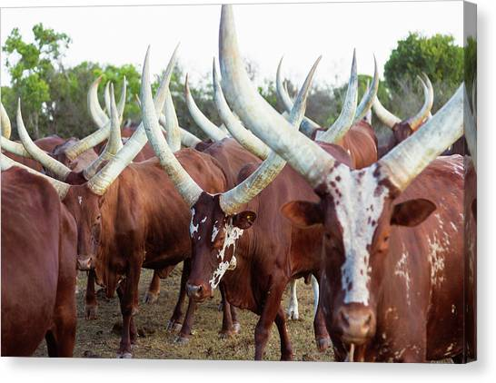 Herd Of Ankole-watusi Cattle, Kenya Canvas Print by Martin Harvey