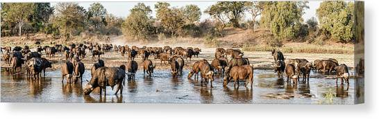 South Buffalo Canvas Print - Herd Of Cape Buffalos Syncerus Caffer by Panoramic Images