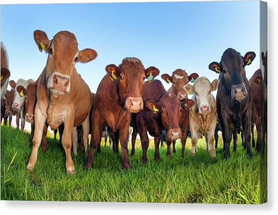 Herd Of Cows Canvas Print by Alex Hyde