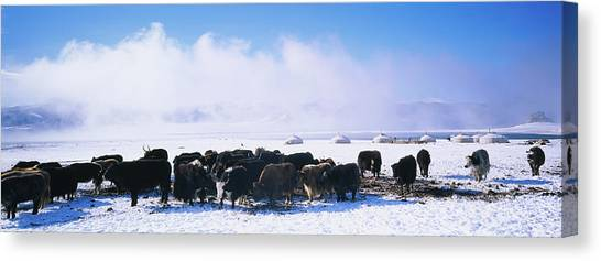 Yak Canvas Print - Herd Of Yaks On A Polar Landscape by Animal Images