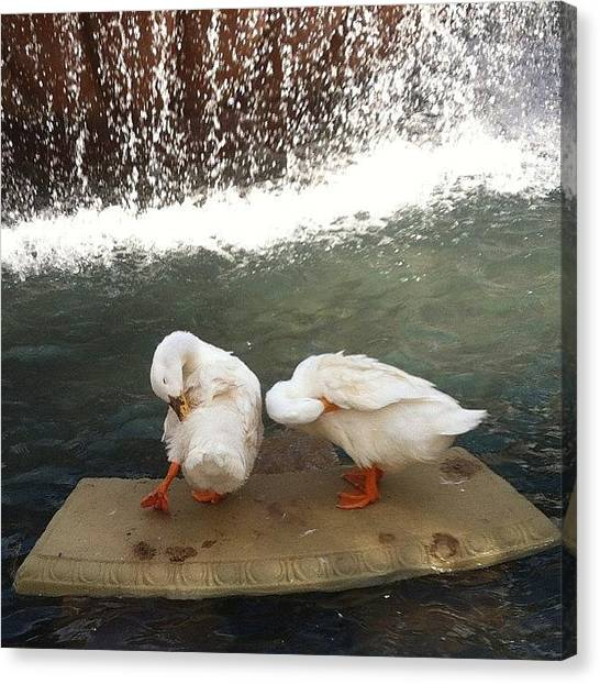 Spam Canvas Print - Here Is A Picture Of Some Ducks. #insta by Zoe Sutter