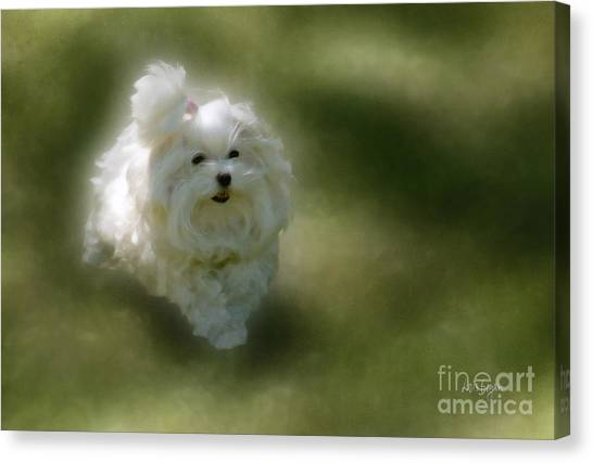 White Maltese Canvas Print - Here She Comes by Lois Bryan