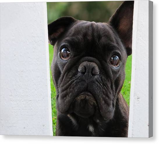 French Bull Dogs Canvas Print - Hermes by Koji Kanemoto