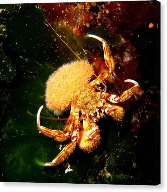 Hermit Crab Canvas Print by April Muilenburg