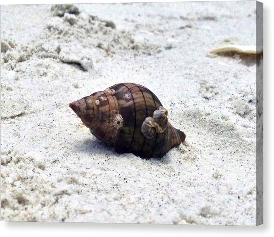 Hermit Crab Of Siesta Key Florida Canvas Print