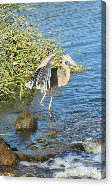 Heron Dance Canvas Print