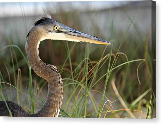 Heron In The Grass Canvas Print