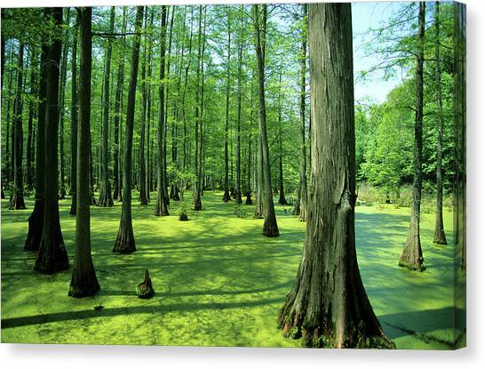 Murky Canvas Print - Heron Pond Bald Cypress Trees In Little by Richard and Susan Day