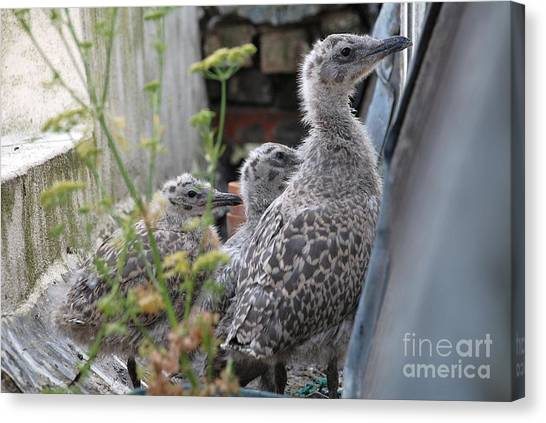 Herring Gull Chicks Canvas Print